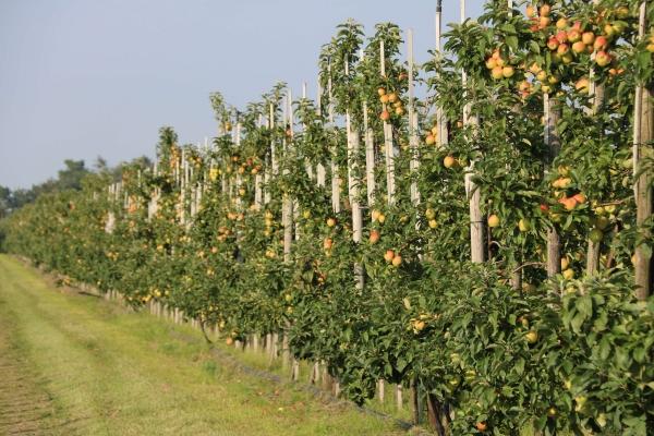 obsthof-suhr-apfelplantage-3