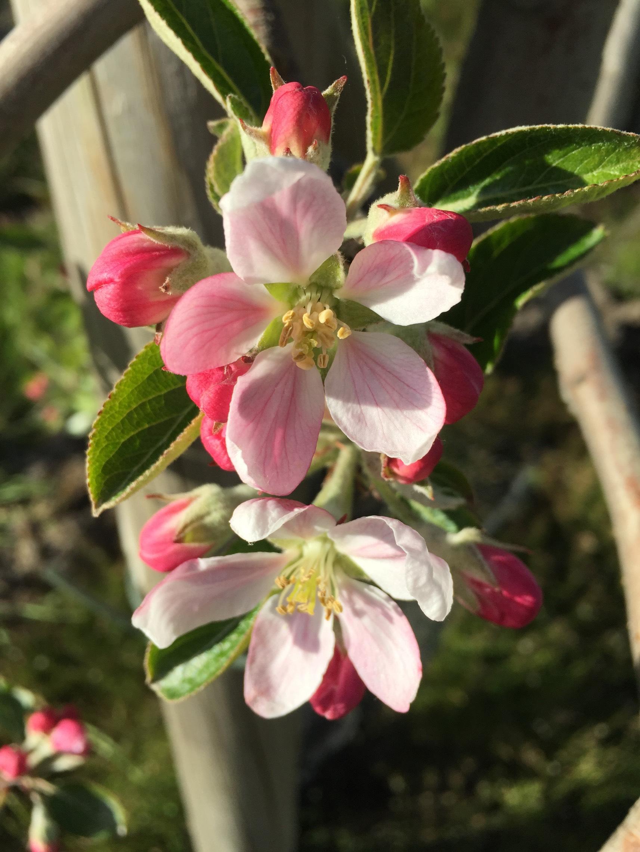 Apfelblüte auf dem Obsthof Suhr